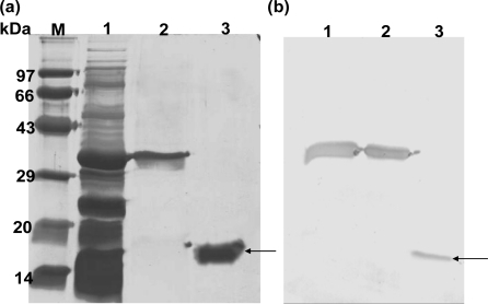 SDS-PAGE and Western blot analysis of purified hGMCSF. Soluble fraction containing TRX-hGMCSF was passed through Ni-NTA column and the fractions containing pure TRX-GMCSF were dialyzed and bound to Ni-NTA a second time in batch mode. The fusion protein was cleaved in the bound state with enterokinase enzyme in the presence of 1 mM CaCl2. The flow through containing hGMCSF was collected and analyzed. (a) SDS-PAGE showing different purification steps. Lane M: Molecular weight Marker; lane 1: Soluble fraction containing TRX-hGMCSF fusion; lane 2: Purified TRX-GMCSF fusion, lane 3: purified hGMCSF; (b) Immunoblot using mouse monoclonal anti-hGMCSF antibody to confirm the identity of hGMCSF. Lane 1: Soluble fraction containing TRX-hGMCSF fusion; lane 2: Purified TRX-GMCSF fusion; lane 3: purified hGMCSF. Arrows represent the purified hGMCSF in both SDS-PAGE and immunoblot.