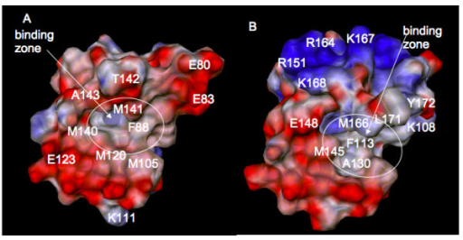 Electrostatic potential distribution on the protein surface of the C-terminal domains. (A) CaM; (B) HsCen2. The potential computed using PCE [59] is shown from -3.0 kcal/mol/e (red) to +3.0 kcal/mol/e (blue). The residue numbers correspond to the ones in the NMR files, 2K0F for CaM and 2A4J for HsCen2.