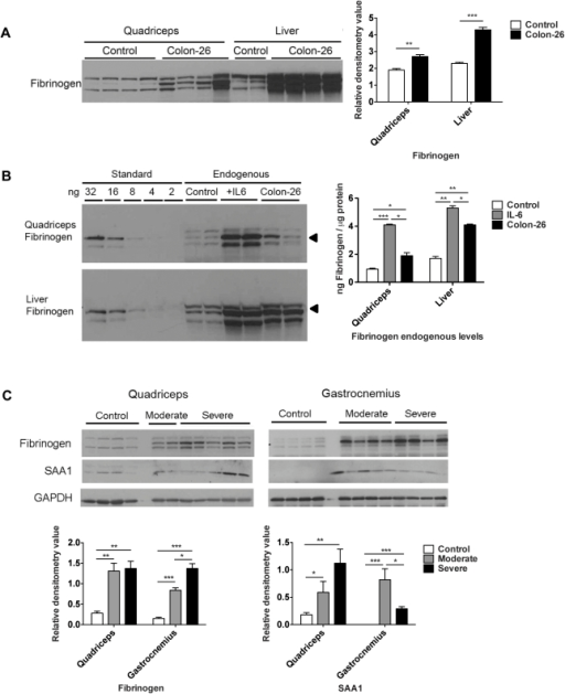 Robust expression of acute phase response proteins in skeletal muscle versus liver in C26 cachexia.A. Western blotting and quantitation of fibrinogen levels in control and C26 quadriceps and liver. Data (mean ± SEM) are expressed as relative densitometry value. **P<0.01, ***P<0.001. B, Western blotting analysis of fibrinogen standard proteins and quadriceps and liver extracts for control, CHO-IL6 injected nude mice and C26 injected CD2F1 mice. Quantitation was performed on the band indicated by the arrow. Data (means ± SEM) are expressed as ng fibrinogen / µg protein. *P<0.05, **P<0.01, ***P<0.001. C, Western blotting analysis demonstrates significantly increased fibrinogen and SAA1 protein levels in quadriceps and gastrocnemius in moderate and severe C26 cachexia. *P<0.05, **P<0.01, ***P<0.001.