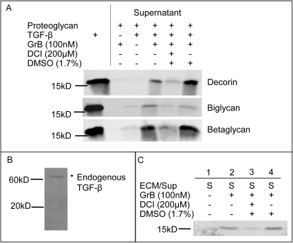 GrB-mediated cleavage of decorin, biglycan and betaglycan results in the release of active TGF-β1.Decorin, biglycan and betaglycan complexed with TGF-β1 were treated with GrB. Supernatants (containing released TGF-β1), were collected and released TGF-β1 was detected by Western blotting. Results shown are representative western blots from at least 3 separate experiments for each PG (a). As endogenous SMC-derived ECM only contains latent TGF-β (as shown in (b)), GrB-mediated release from active TGF-β1 supplemented ECM was also examined (c).