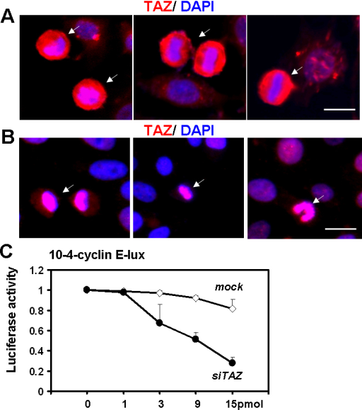 TAZ protein expression is upregulated in mitotic cells at various cell cycle stage. A and B: Conjunctiva epithelial cells were stained by TAZ (red) after treating with hydrochloride for 15 min (A) or 40 min (B). Counterstaining with DAPI (blue) was performed as an indicator of cells at different cell cycle stages. White arrows indicate the cells which were undergoing cell division. Scale bar is 20 µm. C: TAZ siRNA induced less 10–4-cyclin E promoter transcription activities in NHC cell lines in a dosage dependent manner. Data have been represented as mean±se from three replicates.