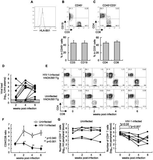 Establishment of a hNOK/B51Tg mouse model for the analysis of HIV-1 infections.NOK/B51Tg mice were established by backcrossing NOK mice with HLA-B*51:01 transgenic NOD/SCID mice, and then were analyzed for the expression of HLA-B51 molecules on their splenocytes. (A) Representative data on the expression of HLA-B51 molecules on splenocytes from a NOK/B51Tg mouse. Splenocytes were stained with TU109 mAB (black line) or isotype control (gray line). hNOK/B51Tg mice were analyzed for the frequency of reconstituted human cells at 10 weeks after the transplantation with human CD34+ cells. (B) Representative data and summary of the frequency of human CD19+ and CD3+ cells among the CD45+-gated subset in PBMCs (n = 18). (C) Representative data and summary of the frequency of human CD4+ and CD8+ T cells among CD45+/CD3+-gated subsets in PBMCs from hNOK/B51Tg mice (n = 18). hNOK/B51Tg mice were infected with HIV-1 at 14 weeks after the transplantation of CD34+ HSCs. (D) HIV-1-infected hNOK/B51Tg mice were analyzed for HIV-1 RNA and plasma viral load at 0, 2, 4, and 6 weeks post-infection (n = 11). (E) Representative data on human CD4+ and CD8+ T cell populations among CD45+/CD3+-gated subsets in PBMCs from an HIV-1-infected hNOK/B51Tg mouse (upper data) and from an uninfected one (lower data). (F) Summarized results on human CD4/CD8 T cell ratio at 0, 2, 4, and 6 weeks post-infection for PBMC from HIV-1-infected hNOK/B51Tg mice (n = 11, black circles) and from uninfected ones (n = 8, white circles). In uninfected hNOK/B51Tg mice, the proportion of human T cells in PBMC from the mice was observed from 14 weeks to 20 weeks after the transplantation. Asterisks indicate statistically significant differences (*p<0.05, HIV-1-infected hNOK/B51Tg mice vs. uninfected ones). Error bars represent SEMs. (G) The number of human CD4+ T cells in peripheral blood from HIV-1-infecetd hNOK/B51Tg (n = 8, right data) and uninfected ones (n = 6, left data) was determined. Asterisks indicate statistically significant differences (*p<0.05, HIV-1-infected hNOK/B51Tg mice at 2, 4, or 6 post-infection vs. hNOK/B51Tg mice before an HIV-1 infection).