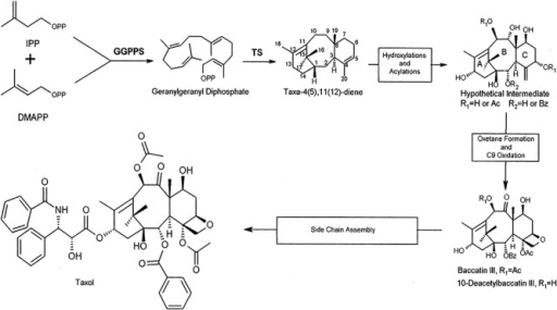 Outline of taxol biosynthesis. Reprinted from DeJong and colleagues (2005) with permission.