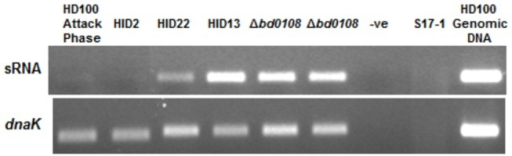 RT-PCR expression of the sRNA downstream of bd0108 and expression of a control gene dnaK.Expression of a small, non-coding RNA downstream of bd0108 was shown to be different in HI strains carrying different mutations in bd0108 and attack phase HD100. Expression was highest in HID13 (ATA->ATG start codon mutation) and the strains with the markerless deletion of bd0108. Strain HID22 (bd0108∆42bp), had slightly lower expression, while those strains with a wild-type bd0108; HD100 and HID2, show much lower expression of the sRNA. Expression of dnaK was uniform across the samples indicating a matched amount of total RNA was used for the experiment.