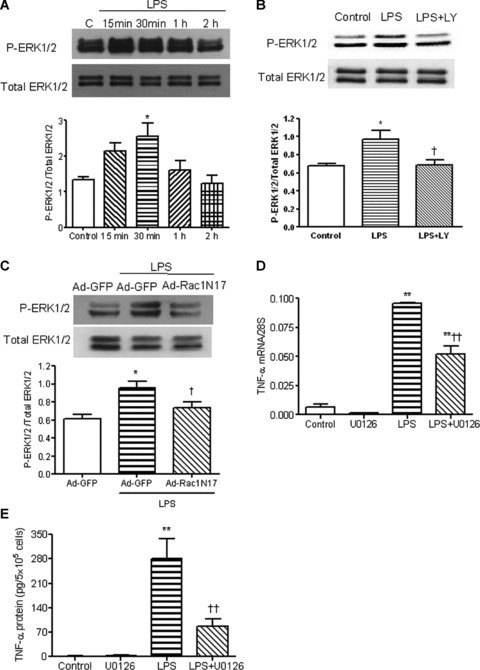 Effects of PI3K and Rac1 on LPS-induced ERK1/2 phosphorylation in neonatal cardiomyocytes. (A) WT cardiomyocytes were treated with vehicle or LPS (1 μg/ml) for 15 min., 30 min., 1 and 2 hrs. ERK1/2 phosphorylation in these cells was measured by Western blot analysis. (B) WT cardiomyocytes were treated with LPS (1 μg/ml) for 30 min. with or without LY294002. ERK1/2 phosphorylation in these cells was measured. (C) Neonatal cardiomyocytes were infected with Ad-GFP or Ad-Rac1N17 for 24 hrs. Cardiomyocytes were treated with LPS (1 μg/ml) for 30 min. ERK1/2 phosphorylation was measured as described above. (D) and (E) Cardiomyocytes were treated with LPS with or without the ERK1/2 inhibitor U0126 (10 μM) for 3 and 5 hrs. TNF-α mRNA (D) and protein in culture medium (E) were measured by real-time RT-PCR and ELISA, respectively. Data are means ± S.E.M. from three to five independent experiments. *P < 0.05, **P < 0.01 versus control; †P < 0.05, ††P < 0.01 versus Ad-GFP+LPS and LPS.