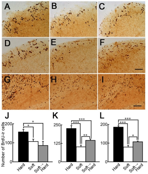 BrdU-ir cells in the SVZ of mice fed a hard diet for 1 or 3 months after being fed a soft diet.Sagittal sections of the SVZ of mice fed only a hard diet (A and D), only a soft diet (B and E), or a hard diet for 1 (C) or 3 months (F) after a soft diet for 1 month. Sagittal sections of the OB of mice fed only a hard diet (G), only a soft diet (H), and a hard diet for 3 months after a soft diet for 1 month (I). Scale bar: 200 µm (F and I); J and K: The numbers of BrdU-ir cells in 600 µm thickness from Figure 108 of the mouse atlas (lateral 0.84 mm) of the SVZ to the lateral side of mice fed only the hard diet (black column), only the soft diet (white column), or the hard diet for 1 month (J) or 3 months (K) after the soft diet (gray column). n = 4 without white column in K, n = 5 for white column in K. L: The number of BrdU-ir cells in 300 µm thickness from Figure 108 of the mouse atlas (lateral 0.84 mm) of the OB to the lateral side of mice fed only the hard diet (black column; n = 4), only the soft diet (white column; n = 5), or the hard diet for 3 months after the soft diet for 1 month (gray column; n = 4). *: p<0.05; **: p<0.01; ***: p<0.0001.