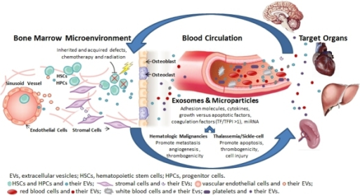 Involvement of Extracellular Vesicles (EVs) in Hematologic Disorders.Inherited and acquired defects as well as exposure to chemotherapy, radiation, and cytokines result in release of EVs from a variety of cells (e.g. hematopoietic stem and progenitor cells, blood, vascular, and tumor cells) to the bone marrow microenvironment, the vascular compartment, and the target organ with auto- and paracrine effects. Extracellular vesicles, which include microparticles and exosomes, express adhesion molecules, cytokines, growth versus apoptotic factors, coagulation factors and miRNA. In hematologic malignancies, EVs promote metastasis, angiogenesis, and thrombogenicity. In thalassemia/sickle cell diseases, EVs promote cell injury, apoptosis, and thrombogenicity.