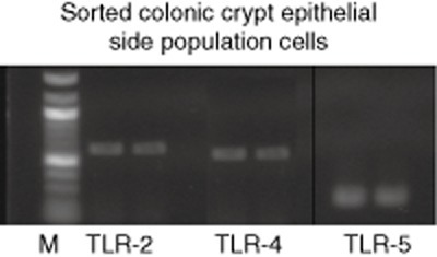 Side population cells (putative stem cells) express Toll-like receptor (TLR)-2, TLR-4 and TLR-5 mRNA transcripts. Side population cells in isolated and disaggregated colonic crypt epithelial cells were identified (as described in Fig. 5a) and sorted for extraction of RNA, for subsequent reverse transcription–polymerase chain reaction (RT–PCR) using primer pairs specific for TLR-2, TLR-4 and TLR-5. Lane M represents the 100 base pair size ladder. The figure is representative of crypt epithelial cells isolated from three operation resection specimens.
