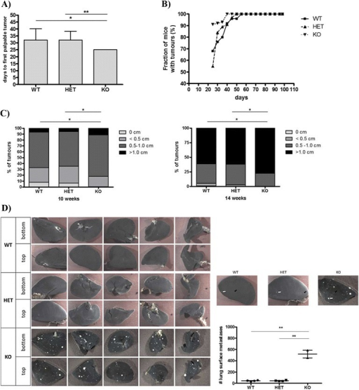 Loss of MMP-8 accelerates tumor onset; promotes progression, tumor size and lung macrometastases in the MMTV-PyMT model. (A) Detection of first palpable tumors of MMTV-PyMT; Mmp8-wild-type (WT, n = 17), MMTV-PyMT; Mmp8-heterozygote (HET, n = 30) and MMTV-PyMT; Mmp8- (KO, n = 10) mice. Mean ± SEM, two-tailed unpaired t test; *P <0.05; **P <0.01. (B) Tumor progression determined by palpation of all 10 mammary glands from day 21 to day 98 for MMTV-PyMT; Mmp8-wild-type (WT, n = 26), −heterozygote (HET, n = 34) and - (KO, n = 21) mice. (C) Tumor size distribution (0, <0.5, 0.5 to 1, >1 cm) at 10 weeks of age for MMTV-PyMT; Mmp8-wild-type (WT, n = 26), MMTV-PyMT; Mmp8-heterozygote (HET, n = 34) and MMTV-PyMT; Mmp8- (KO, n = 21) mice; and at 14 weeks of age for MMTV-PyMT; Mmp8-wild-type (WT, n = 22), MMTV-PyMT; Mmp8-heterozygote (HET, n = 30) and MMTV-PyMT; Mmp8- (KO, n = 16) mice. chi-square test, *P <0.01. (D) Number of lung macrometastases assessed at 14 weeks of age for MMTV-PyMT; Mmp8-wild-type (WT, n = 4), MMTV-PyMT; Mmp8-heterozygote (HET, n = 4) and MMTV-PyMT; Mmp8- (KO, n = 2) mice. Left panel of representative pictures depicts the top and bottom of all lung lobes (one lobe of the left lung, four lobes of the right lung). Black solid arrows = smaller macrometastases, white solid arrows = larger macrometastases. Mean ± SEM, two-tailed unpaired t test; **P <0.01. MMP, matrix metalloproteinase; MMTV, mouse mammary tumor virus; PyMT, Polyoma virus middle T-antigen; SEM, standard error of the mean.