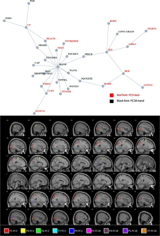 "Example of conceptual association overlaid on brain images representing its neural context.Top: lexical adjacency graph extracted from the semantic network of EAT (Fig 2). This represents MiF Principal Components (MiF-PCs) 3 (red labels) and 18 (black labels) with the fMRI nouns having the largest principal component scores (""bed"" and ""hand"", respectively) and the top twenty semantic features recording the largest principal component loading values. Most notably, the second fMRI noun for MiF-PC3 with the most sex-related connotation is also ""hand"", so the graph shares various semantic contexts pertaining to this effector (body, sex, motions, and hand-carried goods). Bottom: anatomical location of the feature voxels selected from each participant of Mitchell et al. [26] as neural contexts corresponding to those two MiF-PCs. For example, ""P1-PC3"" denotes feature voxels from the P1 dataset that have neural activation patterns significantly homologous to the principal component vector of MiF-PC3 with respect to the 60 nouns used in the fMRI experiment. These sagittal brain images were smoothed using SPM8 with the full-width at half maximum parameter [333] to enhance visual effects. The Supporting Information and its figures clarify how to couple a neural component and an MiF-PC using an original fcMRI method applied to this semantico-neural paradigm."