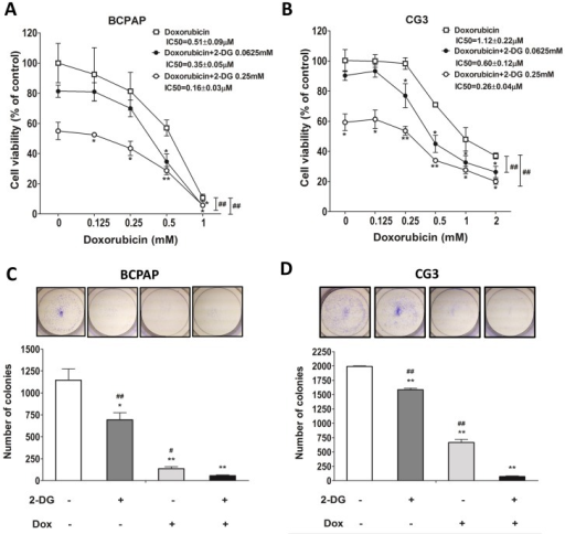 Effects of doxorubicin on the viability of PTC cells treated or not with 2-DG.(A, B) BCPAP and CG3 cells cultured in medium supplemented with 10% fetal bovine serum were treated for 48 h with different concentrations of doxorubicin in the presence or absence of 2-DG. Post-treatment, cell viability was measured using a WST-1 assay. (C, D) Colony formation in BCPAP and CG3 cells treated for 48 h with 1 mM 2-DG, 0.5 μM doxorubicin, or both. The medium was replaced with fresh medium for 3–5 days to check for colony formation. *p < 0.05, **p < 0.001, compared to the controls (t test); panels A, B: ##p < 0.001, 2-way ANOVA; C, D: ##p < 0.001, compared to 2-DG plus doxorubicin treatment (t test). Data are presented as means± standard deviation (SD).