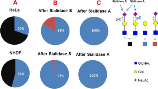 Comparative analysis of the relative intensities of LacNAc antenna and sialylated LacNAc antenna in all complex glycans in HeLa and NHDF cells (A), and in Sialidase S treated (B) and Sialidase A treated (C) samples.Black colour, relative intensity of α2–3 and α2–6 sialylated LacNAc antenna; blue colour, relative intensity of LacNAc antenna; red colour, relative intensity of α2–6 sialylated LacNAc antenna.