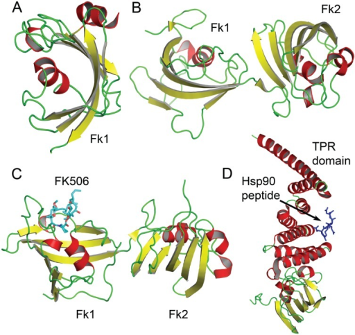 Structures of FKBP domains free and complexed to FK506 and a Hsp90 peptide. In (A), the crystal structure of the free Fk1 (active PPIase domain) of FKBP51 is shown. The Fk1 domain fold is conserved in all FKBPs; In (B) the crystal structure of the tandem Fk1-Fk2 domains of FKBP52 is depicted; In (C), the crystal structure of the tandem Fk1-Fk2 domains of FKBP52 bound to FK506 is shown; In (D), the interaction of the C-terminal TPR domain of FKBP52 with a Hsp90 pentapeptide (shown in blue) is depicted.