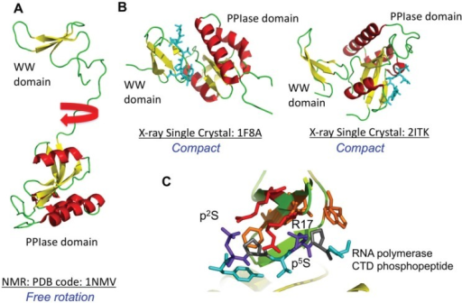 NMR and X-ray crystal structures of Pin1 free and bound to peptides are shown. In (A), the solution NMR structure (PDB code 1NMV) is depicted showing the Pin1 PPIase domain and the WW domain separated by a linker; In (B) two crystal structures of Pin1 bound to phosphopeptides are shown. In the first structure (PDB code 1F8A), the peptide interacts with the WW domain and in the second complex (PDB code 2ITK), the peptide interacts with the PPIase domain; In (C), the interactions of the WW domain with a doubly phosphorylated Ser-Pro peptide is shown. The phosphoserines are shown in blue and the arginine side chains from the WW domain are shown in red.