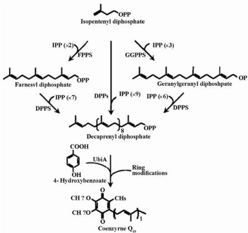 The tandem condensation reactions by decaprenyl diphosphate synthase result in the polymerization of isopentenyl diphosphate (IPP) molecules into decaprenyl diphosphate. The indicated enzymes are as follow: FPPS, farnesyl diphosphate synthase; GGPPS, geranylgeranyl diphosphate synthase; DPPS, decaprenyl diphosphate synthase and UbiA, 4HB-polyprenyl transferase (Zahiri et al, 2009).