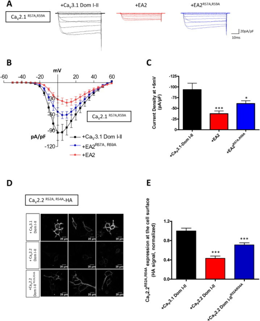 Effect of truncated domains on N-terminally mutated CaV2 channel expression.(A-C) Effect of the truncated constructs on CaV2.1R57A, R59A currents. (A) tsA-201 cells were co-transfected with full-length CaV2.1R57A, R59A/α2δ-1/β1b and CaV3.1 Dom I–II (control, black), EA2 (red) or EA2R57A, R59 (blue). Representative traces were evoked by 50 ms step depolarizations between − 50 and + 60 mV from a holding potential of − 80 mV. The currents are normalised to the cell capacitance. (B) Mean current-voltage relationships for CaV2.1R57A, R59A and CaV3.1 Dom I–II (black squares, control), CaV2.1R57A, R59A and EA2 (red circles) or CaV2.1R57A, R59A and EA2R57A, R59A (blue circles). (C) Mean current densities (pA/pF) at + 5 mV ± SEM for CaV2.1R57A, R59A with CaV3.1 Dom I–II (black, control, n = 10), CaV2.1R57A, R59A with EA2 (red, n = 18) or CaV2.1R57A, R59A with EA2R57A, R59A (blue, n = 13). Statistical analysis: *p < 0.05, ***p < 0.001 vs control. (D–E) Effect of the truncated constructs on CaV2.2R52A, R54A HA cell surface expression. Neuro2A cells expressed CaV2.2R52A, R54A HA/α2δ-1/β1b with CaV3.1 Dom I–II (control), CaV2.2 Dom I–II or CaV2.2 Dom I–IIR52A, R54A. (D) Three examples of confocal images CaV2.2R52A, R54A HA with CaV3.1 Dom I–II (top), CaV2.2R52A, R54A HA with CaV2.2 Dom I–II (middle) or CaV2.2R52A, R54A HA with CaV2.2 Dom I–IIR52A, R54A (bottom). (E) Cell surface expression was quantified based on the HA signal. The data represent mean ± SEM for CaV2.2R52A, R54A HA with CaV3.1 Dom I–II (black, control), CaV2.2R52A, R54A HA with CaV2.2 Dom I–II (red) or CaV2.2R52A, R54A HA with CaV2.2 Dom I–IIR52A, R54A (blue). The data were pooled from 4 independent experiments; more than 100 cells were included in the analysis for each condition. Statistical analysis: ***p < 0.001 vs control.