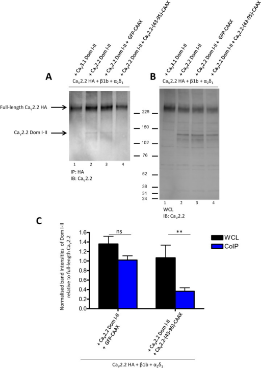 Co-immunoprecipitation of full-length and truncated CaV2.2 is disrupted by the N-terminal construct.A: Representative Western blot showing proteins immunoprecipitated with rat anti-HA antibody and immunoblotted with anti-CaV2.2. tsA-201 cells expressed CaV2.2 HA, α2δ-1 and β1b, together with CaV3.1 Dom I–II (lane 1), CaV2.2 Dom I–II (lane 2), CaV2.2 Dom I–II plus GFP-CAAX (lane 3) or CaV2.2 Dom I–II plus CaV2.2-(43-95)-CAAX (lane 4). This result is representative of 3 independent experiments. B: Western-blot showing 30 μg WCL of the same samples shown in A. C: Quantification of Western blots. Band intensities for CaV2.2 Dom I–II were measured using ImageJ and normalised for expression of full-length CaV2.2 HA for each condition and relative to the condition of CaV2.2 HA + CaV2.2 Dom I–II (lane 2 in A and B). Data are mean band intensities (+ SEM) from three co-immunoprecipitation experiments from three different transfections. Statistical analysis: ns = non-significant difference, **p < 0.01.