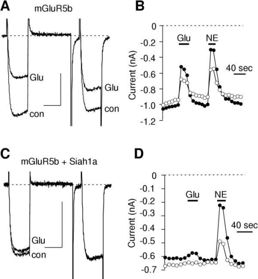 Effect of Siah1a expression on mGluR-mediated calcium current modulation. A and C, Sample current traces illustrating calcium current before and during inhibition by 100 μM glutamate in cells expressing mGluR5b (A) and mGluR5b + Siah1a (C). A triple pulse voltage protocol was used wherein cells were sustained at a holding potential of-80 mV and stepped to an initial test pulse to +10 mV for 25 msec, to +80 mV for 50 msec, then following a 10 msec step to -80 mV a second test pulse to +10 mV was applied. The scale bars indicate 20 msec and 0.4 nA. Tail currents were cropped to better illustrate the step currents. B and D, Time course of inhibition by glutamate (Glu) and norepinephrine (NE) in the cells illustrated in A and C, respectively. Closed circles represent measurements taken from the prepulse (the first test pulse to +10 mV). Open circles represent measurements taken from the postpulse (the second test pulse to +10 mV).