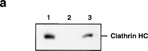 Cytosolic clathrin  and COPI are not needed for  the cell-free budding of SV.  (a) Normal rat brain cytosol  was immunodepleted of  clathrin heavy chains using  the X22 mAb bound to protein G–Sepharose. The extent of depletion was confirmed by immunoblotting  equal amounts of rat brain  cytosol protein before (lane  1) or after (lane 2) the immunoabsorption with the TD.1  anti-clathrin antibody. Lane  3 corresponds to clathrin  heavy chains retained on the  beads. (b) In vitro reaction  mixtures were prepared containing labeled N49A/PC12  cell homogenates, ATP regenerating system in the presence of normal or clathrin- depleted rat brain cytosol.  Reactions containing normal rat brain cytosol (supplemented  with either 11–22 μg/ml of affinity-purified anti–β-COP antipeptide antibody EAGE, 1 μM of either GST-WBP1-SS or GST-WBP1-KK, or a combination of EAGE antibody plus GST-WBP1-KK) were kept for at least 3 h at 4°C before warming to  37°C. None of the treatments substantially modified the budding  of SV.