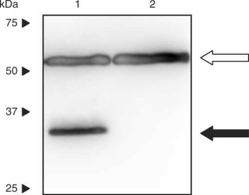 Western blot analysis of ARG2 expression in HEK-293T cells transfected with pSH91 (pSH91, PSV40-ARG2-pA) and cultivated for 60 h. Lane 1, lysate from HEK-293T transfected with pSH91 (pSH91, PSV40-ARG2-pA); lane 2, lysate from untransfected control cells. The 35 kDa band, indicative for the fusion protein ARG2 is shown with a black arrow. The loading control (tubulin-α, 57kDa) is indicated with an open arrow. Migration of molecular mass markers (kDa) is indicated on the left.