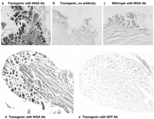 Immunohistochemistry of sections from the geniculate (a,b,c) and petrosal (d,e) ganglia, showing staining with a WGA antibody in the ganglia from T1r3-WGA-IRES-GFP transgenic mice (a,d). No staining was obtained when the primary antibody was omitted (b), or when a GFP antibody was used (e). No staining was obtained with the WGA antibody in the geniculate ganglion from a wild-type mouse (c).