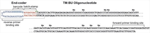 An end-coded TM oligonucleotide ligated while base-paired with BU. The 5-methylcytosines are present at 10 CpG sites on the top strand, TM, and are indicated with 'Me'. The end-coder (Burden et al., manuscript in preparation) contains a batchstamp common to all molecules processed in a given experiment, and a randomly generated barcode. The end-coder is attached to the top, TM, but not the bottom, BU, strand of TM:BU. Thus, the bottom strand will separate from the top strand under denaturating conditions. Oligonucleotides labeled with end-coder have a forward primer binding site on TM, and a reverse-primer binding site of 21 nt, indicated here in purple, on the end-coder itself (after Figure 1 of Burden et al., manuscript in preparation).