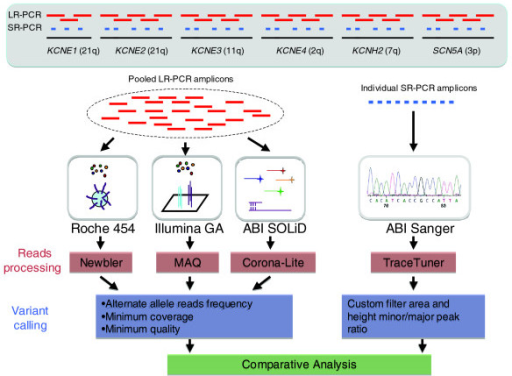 Overview of experimental design. Six genomic intervals, each encoding genes for K+/Na+ voltage-gated channel proteins, were amplified using DNA from four individuals and LR-PCR reactions to generate 260 kb of target sequence per sample. Amplicons from each individual were pooled in equimolar amounts and then sequenced using the three NGS platforms. The 260 kb examined in this study is representative of human sequences containing 38% repeats and 4% coding sequence compared with 47% and 1%, respectively, genome-wide. For each sample 88 kb was amplified using short range PCR (SR-PCR) reactions targeting the exons and evolutionarily conserved intronic regions. Each SR-PCR amplicon was individually sequenced in the forward and reverse directions using the ABI-3730xL platform (Additional data file 2). Data generated from the NGS platforms were analyzed to identify bases variants from the reference sequence (build 36) and the quality of the variant calls was assessed using platform specific methodologies. A comparative analysis of the sequence data from the NGS platforms and ABI Sanger was then performed to determine accuracy, and false positive and false negative rates.