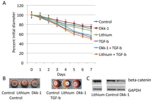 Dkk-1 and lithium have a minimal effect on collagen lattice contraction. A. Means and 95% confidence intervals for collagen lattice average diameters as observed over seven days are given for fibroblasts from mice expressing the wild type fibroblasts treated with either an adenovirus expressing Dkk-1 or a control adenovirus. Cultures were also treated with either transforming growth factor β or a carrier. There is a statistically significant difference for transforming growth factor β treatment compared to carrier after day three. For Dkk-1 and lithium treatment there is a minimal change in lattice contraction rate. B. Representative photographs of the collagen lattices at day seven. C. Western analysis for β-catenin showing how Dkk-1 and lithium regulates the protein level of β-catenin.