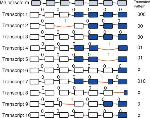 Binary isoforms. Simulation and sampling of the isoform composition of a gene with 10 virtual transcripts and 6 introns. Exons are shown as rectangles. Alternative splicing events are indicated by red intron bridges. The binary intron representation is shown above each bridge, with the symbol '1' indicating an alternative splicing event, and the symbol '0' representing a major splicing event. In the set of 10 there are total of six alternative transcripts (those with at least one '1': transcripts 2, 4, 5, 7, 8 and 9) with five unique alternative isoforms (one pattern occurs twice, in transcripts 4 and 5). In this example, we assume that partial message sequencing only included the colored exons. With this particular sequencing, three alternative transcripts are selected (4, 5 and 7), containing two of the five unique alternative isoforms (represented by the patterns 01 and 010). If an EST sequence contains zero introns, it is truncated to a  string, illustrated with transcripts 6, 8 and 10.