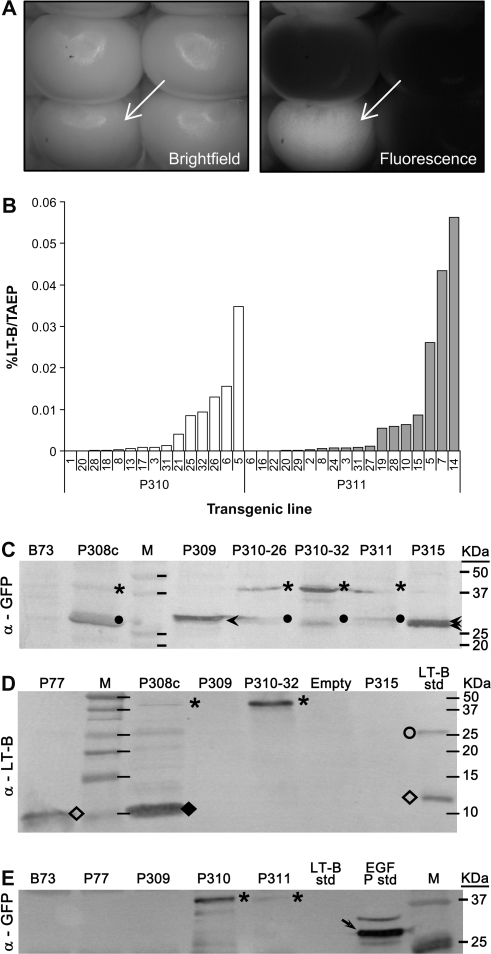 Gene expression analyses of LT-B, GFP, and LT-B::GFP fusions in transgenic maize kernels. (A) Bright field and fluorescence imaging of a representative self-pollinated ear of transgenic line P310 (Pγzein-BSP-LT-B::GFP) expressing GFP in the endosperm. A GFP-expressing kernel is marked by a white arrow. (B) LT-B levels as a percentage of total aqueous extractable protein (% LT-B/TAEP) in endosperm of P310 and P311 (Pγzein-ZSP-LT-B::GFP) kernels. Both transgenic maize carrying BSP- or ZSP-led LT-B::GFP fusion protein show the expression of functional LT-B. However, independent lines from both constructs have different levels of LT-B. (C) Western blot of TAEP extracts from transgenic callus (P308c, P35S-BSP-LT-B::GFP) and endosperms (P309, Pγzein-GFP, GFP control; P310-28, P310-32, two independent lines from P310; P311; and P315, Pγzein-BSP-GFP) using anti-GFP antibody. (D) Western blot of TAEP extracts from transgenic callus (P308c) and endosperms (P309, P310-32, and P315) using anti-LT-B antibody. (E) Western blot of immuno-precipitated samples using anti-LT-B antibody, probed with anti-GFP antibody. B73, non-transgenic maize line. P77, transgenic maize line expressing LT-B with its native bacterial signal peptide. The empty lane in (D) was a sample lost during loading. LT-B std, bacterial LT-B protein standard. EGFP std, commercial enhanced GFP standard. Arrowheads in (C), GFP. Dots in (C), possible cleavage peptides cross-react to GFP antibody. Asterisks in (C), (D), and (E), LT-B::GFP fusion. Open diamonds in (D), LT-B monomer. Closed diamond in (D), truncated LT-B::GFP fusion. Open circle in (D), LT-B multimer. Arrow in (E), commercial EGFP. Multiple EGFP bands in GFP standard may due to incomplete protein denaturation during boiling before loading.