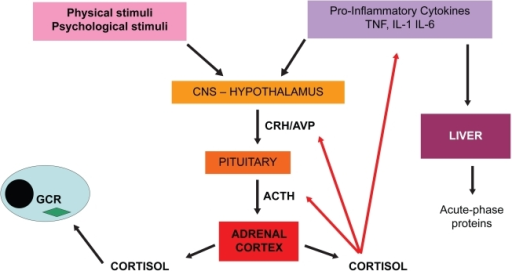 Schema of hypothalamus–pituitary–adrenal (HPA) axis of stress response.Abbreviations: ACTH, adrenocorticotropic hormone; CNS, central nervous system; CRH/AVP, corticotrophin-releasing hormone/arginine vasopressin; GCR, glucocorticoid receptor; IL, interleukin; TNF, tumor necrosis factor.