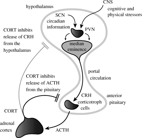 Regulation of HPA axis activity. The hypothalamic PVN receives circadian inputs from the SCN and homeostatic/stress inputs from the brain stem and limbic areas. The PVN projects to the median eminence where it releases CRH into the portal circulation. This passes to corticotrophs in the anterior pituitary which release ACTH from pre-formed granules into the venous circulation. This ACTH reaches the adrenal cortex where it activates the synthesis and secretion of CORTisol (in man) or CORTicosterone (in the rodent). CORT in turn feeds back to inhibit the release of ACTH from the anterior pituitary, and to a lesser extent, CRH from the hypothalamus.