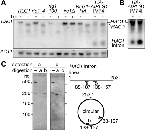HAC1 intron is circularized and retained in the AtRLG1 strain. Wild-type (RLG1), rlg1-4, rlg1-100, ire1Δ, RLG1-HA, and rlg1Δ/HA-AtRLG1[M74] strains were cultured in the presence (+ lanes) or absence (− lanes) of 2.0 μg/ml Tm for 60 min. Total RNAs were prepared and electrophoresed with 1.5% agarose/2.2 M formaldehyde gel. (A) HAC1 RNA species were detected by Northern blotting with an anti-HAC1u probe (top). ACT1 mRNA was also detected as a loading control (bottom). (B) The total RNAs from the AtRLG1[M74] cells were subjected to Northern blotting with an anti-HAC1 intron probe. Signal enhancement enables to observe the minor HAC1u mRNA in the presence of Tm. (C) Total RNAs prepared from HA-AtRLG1 cells were hybridized with probes a or b and treated with RNase H. In the lane labeled −, no oligonucleotide was added. RNAs recovered from the digestion were analyzed on a polyacrylamide gel. The HAC1 intron and its fragments were visualized by Northern blotting with either of the probe a (left) or b (right). Hybridization positions of these probes on putative linear or circular HAC1 introns are schematically described in the right.