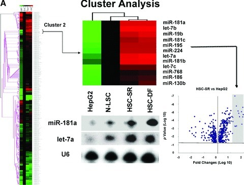 miRNA expression profiles in human HCC cancer stem cells [under self-renewal (SR) or differentiation (DF)], malignant and non-malignant hepatocytes. (A) miRNA was isolated and profiling by hybridization to miRNA-specific probes on epoxy-coated slides. Cluster analysis identifies a group of miRNA that are increased in expression in HCC cancer stem cells (HSC-SR and HSC-DF) and reduced in hepG2 cells when compared to normal human liver stem cells (Cluster 2). An enlarged view of this group, containing 11 miRNAs including members of let-7 and miR-181 family is shown. Lower middle panel illustrated representative Northern blot analysis of let-7a and miR-181a using total RNA isolated from four cell lines. This cluster of miRNAs are among the group, which increased in HSC-SR by fourfold, and P < 0.05 when compared to HepG2 cells (lower right panel). (B) The expressions of mature let-7a, let-7b and miR-181a miRNAs were validated using real-time PCR and correlated with the pattern in the miRNA array. Data represent mean ± S.E. from four separate experiments.