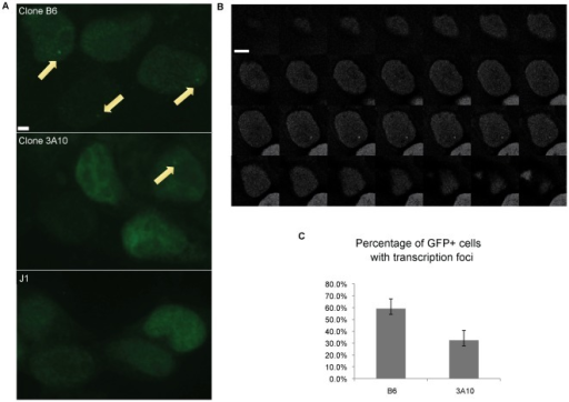 Visualization of transcription foci.A. Transcription foci were detected as focal dots (yellow arrows) in Clone B6 and 3A10 after transient transfection of MS2-EGFP. Uninfected J1 ES cells were used as a control. Scale bar = 2.5 µM. B. Sample images from multiple z-stacks of a cell from Clone 3A10 displaying a focal dot over 6 consecutive focal planes. Z-stacks were 0.3 µM apart. Scale bar = 5 µM. C. Quantification of the percentage of cells with transcription foci in EGFP-positive cells. (n = 2; at least 47 cells were examined for each n).