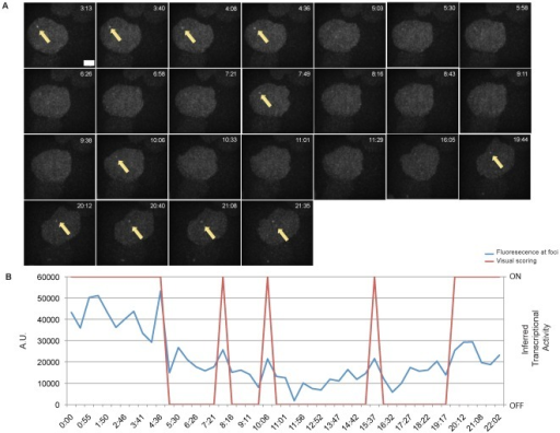 Detection of rapid transcriptional pulsing in Clone B6.A. Rapid and long transcriptional pulses (arrow) detected in a representative cell of Clone B6. Image acquisition was performed every 27 seconds. Scale bar = 2.5 µM. B. Intensity time series data (blue line) of the pulsing cell depicted in Figure 5A. Red line represents inferred transcriptional activity by visual scoring.