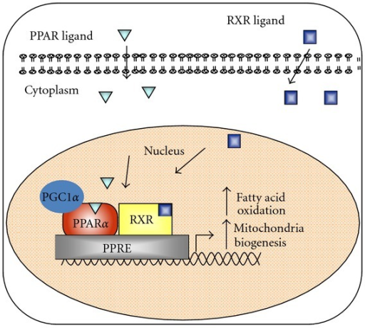 Regulation of gene expression by peroxisome proliferator-activated receptors. The nuclear hormone receptor PPARα induces transcription through formation of a heterodimer with the retinoic X receptor and binding to peroxisome proliferator response elements (most are direct repeats with one intervening nucleotide) in the promoter of genes involved in fatty acid oxidation. PGC1α is an important PPARα coactivator in tissues that undergo extensive oxidative metabolism and induce mitochondrial expansion.
