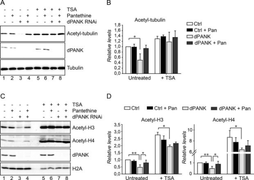 Levels of acetylated tubulin and histones are decreased in dPANK/Fbl-depleted cellsCell extracts of control cells and dPANK/Fbl-depleted cells (by RNAi) were analysed by Western blot using antibodies specifically recognizing acetylated-tubulin. Efficiency of RNAi was determined by using a dPANK/Fbl antibody and tubulin was used as a loading control. Control cells and dPANK/Fbl-depleted cells were left untreated, treated with pantethine, with TSA or with TSA and pantethine.Quantification of the relative levels of tubulin acetylation under the conditions presented in A compared to control cells.Cell extracts of control cells and dPANK/Fbl-depleted cells were analysed using Western blot to determine acetylation levels of specific histones. Specific antibodies were used to detect levels of acetylated histone 3 and acetylated histone 4. Control and dPANK/Fbl-depleted cells were left untreated or were treated with pantethine, with TSA or with TSA and pantethine. The efficiency of the RNAi treatment was investigated by the use of an antibody against dPANK/Fbl. H2A was used as a loading control.Quantification of the relative levels of histone acetylation under the conditions presented in C compared to control cells.