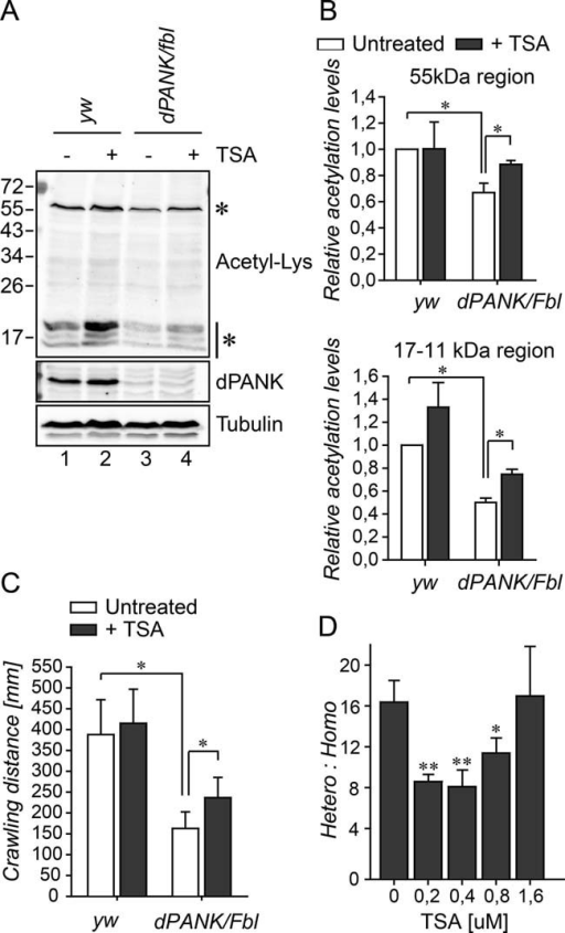Decreased levels of acetylated histones and tubulin are associated with decreased survival and decreased locomotor function of dPANK/Fbl mutant larvaeExtracts of WT and dPANK/Fbl homozygous third instar larvae were analysed for their levels of acetylated proteins using acetyl-Lys antibody. Tubulin was used as a loading control and the dPANK antibody was used to demonstrate the reduced expression of dPANK/Fbl in the mutant larvae. Addition of 0.2 µM TSA to the larval food resulted in increased levels of acetylated histones and tubulin.Quantification of the relative intensity of the 55 kDa band (corresponding to acetyl-tubulin) and <17 kDa bands (corresponding to acetyl-histones) in larvae extracts.Ability of larvae to crawl a certain distance in 9 min was measured as previously described (Rana et al, 2010). Larval crawling assay was performed in WT larvae and in dPANK/Fbl homozygous mutant larvae untreated or fed with the HDAC inhibitor TSA (0.2 µM).dPANK/Fbl/TM3 males and females were crossed and various concentrations of TSA were added to the food. The number of homozygous (dPANK/Fbl/dPANK/Fbl) versus heterozygous dPANK/Fbl/TM3 adults which eclosed was counted.