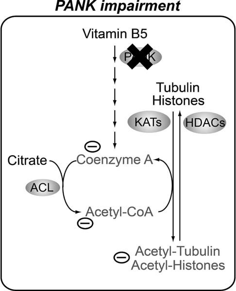 CoA metabolism and protein acetylation are tightly linkedUnder WT conditions, CoA is synthesized de novo from Vitamin B5 at normal levels. CoA is incorporated in acetyl-CoA and the latter serves as the acetyl source for various protein acetylation reactions. A tight interplay between KATs and HDACs determine the acetylation levels of specific proteins resulting in normal homeostasis of cells and tissues. In cells and organisms suffering from impaired function of PANK, CoA de novo biosynthesis is disturbed, and levels of CoA are decreased. Reduced levels of CoA result in decreased levels of acetyl-CoA and reduced acetylation of tubulin and histones. The latter is associated with decreased survival, impaired locomotor function and an impaired DNA damage response. We suggest that decreased acetylation levels of specific proteins may explain part of the pleiotropic phenotype of the Drosophila PKAN model and possibly part of the pathogenesis of PKAN.