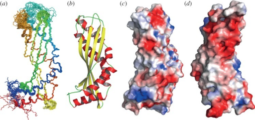 The solution structure of latherin. (a) The ensemble of the 20 latherin models (superimposed) that best fit the experimental data, shown in peptide backbone representation, shaded from blue (N-terminus) to red (C-terminus). (b) Ribbon model of the representative structure of latherin in solution illustrating secondary structure elements; α-helices are coloured red and β-strands yellow. (c) Surface contact potential (blue, positive; red, negative) of latherin mapped on the solvent accessible surface of the protein in the same orientation as (a), and (d) rotated 180°. Images and contact potential generated using PyMOL [46].