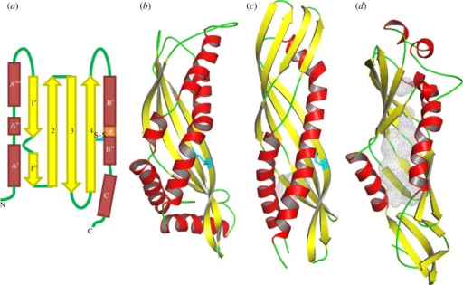 Topology of latherin and comparison with BPI. (a) Topology model of latherin. α-Helices are represented by red rectangles; β-strands by yellow arrows; non-regular secondary structure as green lines. The intramolecular disulfide bond, Cys133–Cys175, is shown as a cyan line labelled 'S–S'. The short section of π-helix is coloured orange, and the β-bulge by a curved green line between strands 1′ and 1″. (b) Cartoon representation of latherin compared with, (c) and (d), the N- and C-terminal domains, respectively, of BPI protein (PDB code 1BP1; [47]). The grey mesh in (d) encloses the internal cavities in the BPI C-terminal domain that are accessible to a 1.4 Å radius probe. Images created using PyMOL [46].