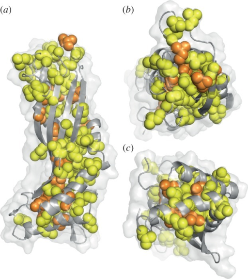 Distribution of leucine and isoleucine residues in the latherin structure. Latherin's main chain is displayed in cartoon representation, with the solvent accessible surface envelope shown in transparency. Leucine side chains are displayed as yellow spheres, and isoleucine side chains as orange spheres. In (a), the 'loop' end is at the top and the 'termini' end at the bottom. (b) and (c) show views from the 'loop' and 'termini' ends, respectively. Leucine and isoleucine residues predominantly line the core of the fold except at the 'loop' end. Image created using PyMOL [46].