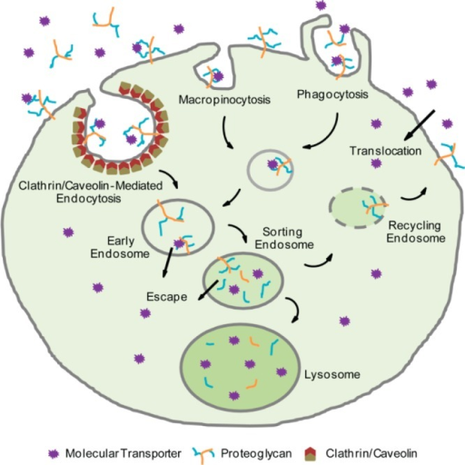 Potential mechanismsfor cellular uptake including clathrin- andcaveolin-mediated endocytosis, macropinocytosis, phagocytosis, anddirect translocation across the plasma membrane.
