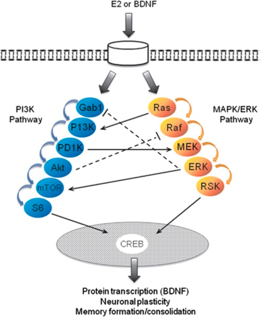 Schematic illustration of two molecular pathways implicated in fear extinction that are induced by estradiol (E2) or brain-derived neurotrophic factor (BDNF). In this diagram, PI3K (left) and MAPK/ERK (right) protein cascades may be activated by E2 or BDNF-bound membrane receptors. Both pathways phosphorylate CREB resulting in protein transcription, neuronal plasticity and memory formation and consolidation. Several examples of intra-pathway crosstalk are illustrated with facilitative activation represented with solid arrows and inhibitory actions by dashed lines. CREB, cAMP response element-binding protein; Gab1, GRB2-associated-binding protein 1; MAPK/ERK, mitogen-activated protein kinase/extracellular signal-regulated kinase; MEK, mitogen-activated protein kinase kinase; MTOR, mammalian target of rapamycin; PDK1, pyruvate dehydrogenase lipoamide kinase isozyme 1; PI3K, phosphoinositide 3-kinase; RSK, ribosomal s6 kinase.