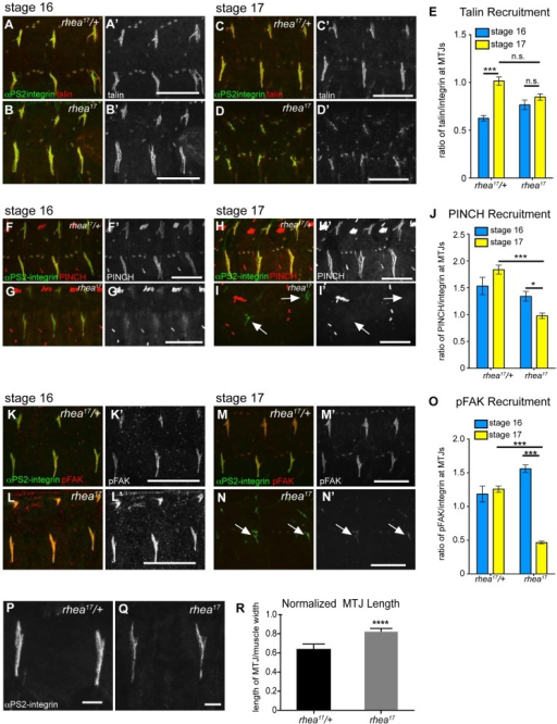 rhea17 disrupts adhesion complex reinforcement and adhesion consolidation.WT and rhea17 embryonic muscles stained for talin (red in a–d; grey in a′–d′) and integrin (green in a–d) at stage 16 (a–b) and stage 17 (c–d). (e) The recruitment of talin to adhesions (normalized to integrin levels; see materials and methods) was comparable between WT and rhea17 in stage 16 embryos. However, although talin was maintained at sites of adhesion, its recruitment was not reinforced in rhea17 embryos in stage 17 embryos (e). (f–j). WT and rhea17 embryos stained for integrin (green in f–i) and PINCH (red in f–i, grey in f′–i′) at stage 16 (f–g) and stage 17 (h–i). PINCH recruitment was not reinforced in stage 17 rhea17 embryos as determined by measuring the ratio of anti-PINCH fluorescence intensity relative to integrin intensity at MTJs. (j; see Materials and Methods). (k–o) WT and rhea17 embryos stained for integrin (green in k–n) and pFAK (red in k–n; grey in k′–n′). pFAK recruitment was not reinforced in stage 17 rhea17 embryos as determined by measuring the ratio of anti-pFAK fluorescence intensity relative to integrin intensity at MTJs (o; see Materials and Methods). (p–r) MTJ length was measured in control heterozygous (p) and rhea17 mutant (q) embryos (see materials and methods). MTJs were significantly longer in rhea17 mutants compared to control embryos (****p<0.0001). Scale bars: a–n = 50 µm; p–q = 10 µm.