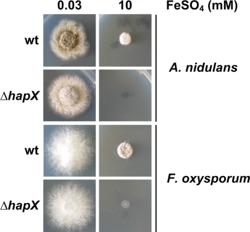 HapX-mediated iron detoxification is evolutionary conservedA. nidulans and F. oxysporum deletion mutants were grown for 48 h at 37°C on agar plates with the given iron concentration.