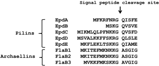 Alignment of the N-terminus region, including the signal peptide, of type IV pilin-like proteins of M. maripaludis.