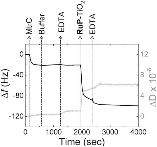 QCM-D results with frequency (black line, left axis) and dissipation (gray line, right axis) against time for a gold crystal at 21 °C. The gold surface is modified with 8-OH/8-NH3+ (ratio 80/20) SAM prior to the experiments. The plots shown are representative of triplicate experiments. As indicated, the gold crystal is consecutively incubated with: MtrC (0.87 × 10−6m) in buffer (20 × 10−3m MOPS, 30 × 10−3m Na2SO4 at pH 7.4); buffer only; EDTA (25 × 10−3m EDTA at pH 7.4); RuP-TiO2 (0.2 mg mL−1) in EDTA and, finally, EDTA.