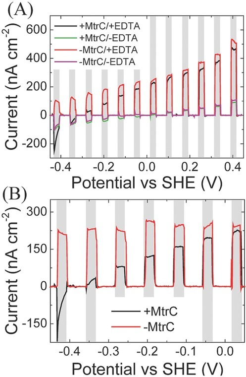 A) Effect of applied bias potential on the photocurrent of MtrC/RuP-TiO2 (+MtrC) and RuP-TiO2 only (−MtrC) measured with EDTA (+ EDTA) and without EDTA (−EDTA). The response was measured by linear sweep voltammetry (LSV) at 5 mV s−1. B) Normalized photocurrent (the difference between photocurrent generalized with and without the sacrificial electron donor EDTA). The gray bars represent the times during with the photoanodes are illuminated.